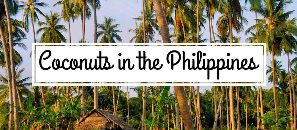 Coconut coconuts plantation harvest philippines yoland