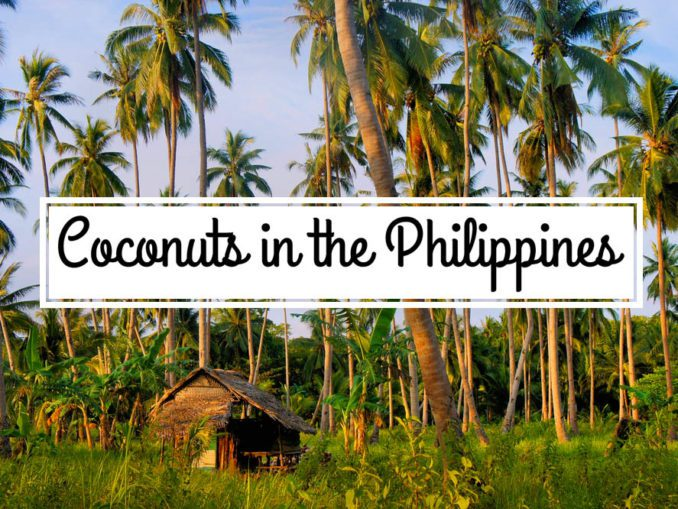 Coconut coconuts plantation harvest philippines yoland