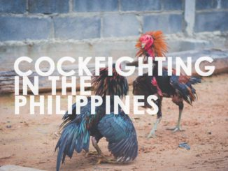 cockfighting, philippines, sabong, derby, cruelty, breeds, farms