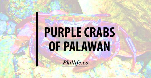 purple, crab, palawan, insulamon, animals, philippines, island, group, palawanese